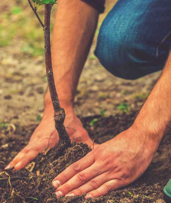 Planting trees in bulk | reforesting with white pine